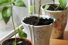 生长在罐的辣椒粉植物室内 免版税库存照片