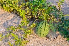 生长在美好的晴天的海滩的西瓜 库存图片
