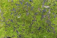 生长在老墙壁上的绿色青苔 免版税库存图片