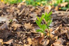 生长在老棕色叶子之间的年轻树新芽 免版税库存图片