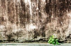 生长在肮脏的老水泥墙壁孔的一点植物  免版税库存图片