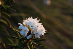 生长在自然沼泽栖所的美丽的沼泽labradors 与春天花的沼泽地风景 图库摄影