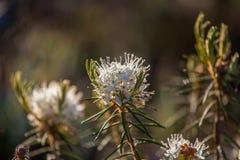生长在自然沼泽栖所的美丽的沼泽labradors 与春天花的沼泽地风景 免版税库存照片