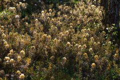 生长在自然沼泽栖所的美丽的沼泽labradors 与春天花的沼泽地风景 免版税库存图片