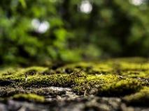 生长在自然被弄脏的背景的混凝土的青苔  库存照片