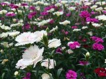 生长在花园里的桃红色和白色康乃馨 库存图片
