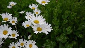 生长在花圃的雏菊 花录影镜头在风静止照相机的 自然本底 股票视频