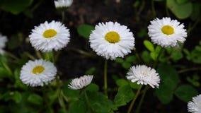生长在花圃的雏菊 股票视频