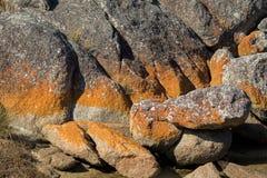 生长在花岗岩岩层的红色橙色地衣特写镜头  免版税库存照片
