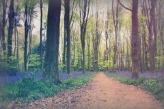 生长在英国森林地地板上的会开蓝色钟形花的草 库存图片