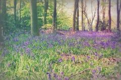 生长在英国森林地地板上的会开蓝色钟形花的草 免版税库存图片