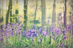 生长在英国森林地地板上的会开蓝色钟形花的草 库存照片