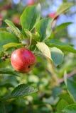 生长在苹果树分支的苹果 库存图片
