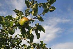 生长在苹果树的一个苹果 免版税库存照片