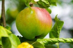 生长在苹果树的新鲜的成熟红色苹果 免版税库存图片