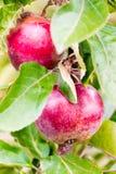 生长在苹果树的新鲜的成熟红色苹果 免版税库存照片