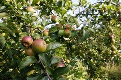 生长在苹果树的苹果 免版税库存图片
