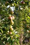 生长在苹果树的苹果 库存照片