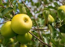 生长在苹果树的绿色苹果 免版税库存照片