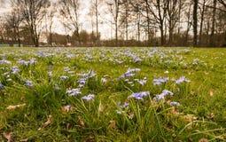 生长在草之间的紫色开花的Scilla植物 免版税库存图片