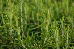 生长在草本庭院里的新鲜的迷迭香植物 库存照片