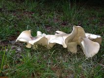 生长在草特写镜头的白色Polypore蘑菇 库存图片