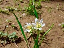 生长在草甸的一束小白花的宏指令 库存照片