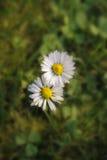 生长在草的两朵雏菊 免版税库存照片