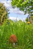 生长在草的羊肚菌 库存图片