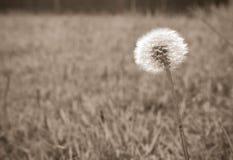 生长在草的蒲公英吹球的黑白照片在夏天 免版税图库摄影