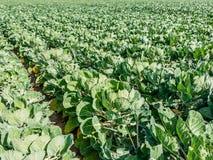 生长在荷兰的抱子甘蓝植物 免版税库存照片