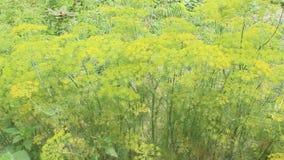 生长在菜园的茴香 影视素材