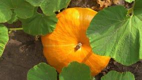 生长在菜园里的南瓜 顶视图 股票视频