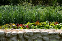 生长在菜园里的绿色和红色叶子唐莴苣在Babylonstoren,开普敦,南非 库存照片