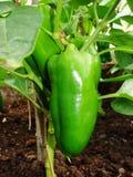 生长在菜园里的青椒的新芽 保加利亚胡椒辣椒粉 绿色热的哈瓦那人辣椒 库存照片