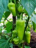 生长在菜园里的青椒的新芽 保加利亚胡椒辣椒粉 绿色热的哈瓦那人辣椒 免版税库存图片