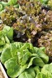 生长在菜园里的莴苣庭院 免版税库存图片