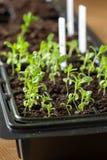 生长在萌芽塑料盘子的幼木植物 免版税图库摄影