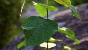 生长在落矶山脉上面的美丽的年轻白杨树在日落 股票视频