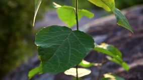 生长在落矶山脉上面的美丽的年轻白杨树在日落 股票录像
