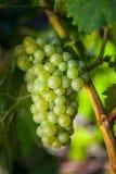 生长在葡萄园里的葡萄 库存照片