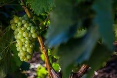 生长在葡萄园里的葡萄 库存图片