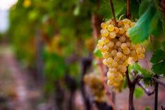 生长在葡萄园里的葡萄 免版税图库摄影