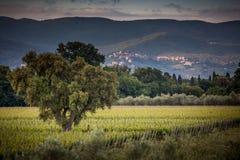生长在葡萄园里的葡萄 免版税库存照片