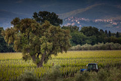 生长在葡萄园里的葡萄 免版税库存图片