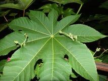 生长在蓖麻籽叶子的耳垂的之间牵牛花藤 免版税图库摄影