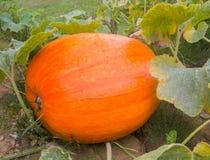 生长在藤的新鲜的橙色南瓜 库存照片