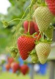 生长在藤的草莓 免版税库存图片