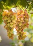 生长在藤的葡萄 免版税库存照片