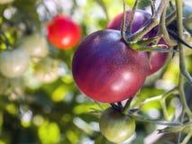生长在藤的车落基印第安人的紫色爽快蕃茄 免版税图库摄影
